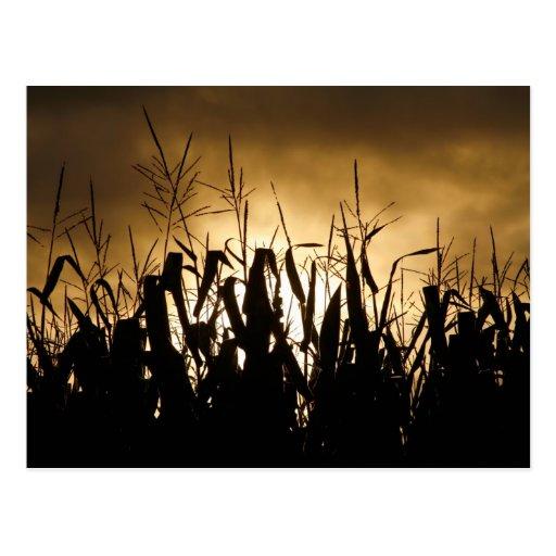 Corn field Silhouettes Postcard