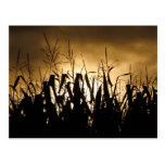Corn field Silhouettes Postcards