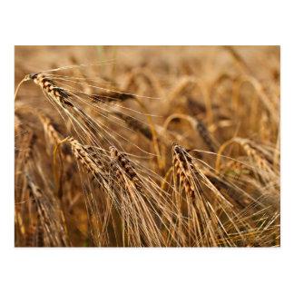 Corn field with grain postcard