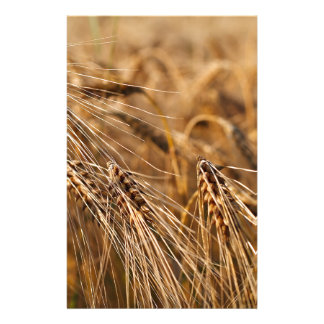 Corn field with grain stationery paper