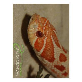 Corn snake postcard