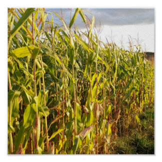 Corn Stalks At Sunset Poster