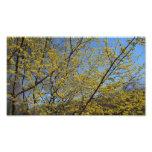 Cornelian Cherry Dogwood and Blue Sky Photo Print