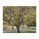 Cornelian Cherry Dogwood and Glory of the Snow Canvas Print