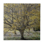 Cornelian Cherry Dogwood and Glory of the Snow Ceramic Tile
