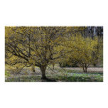 Cornelian Cherry Dogwood and Glory of the Snow Poster