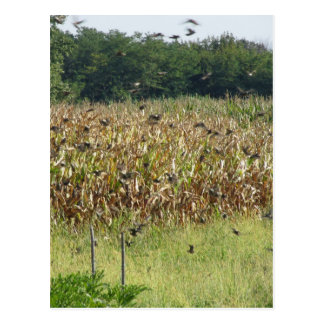 Cornfield and common starlings postcard
