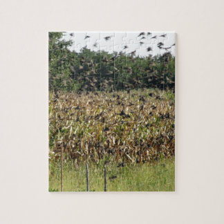 Cornfield and common starlings puzzle