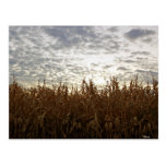 Cornfield at sunset post cards