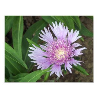 Cornflower Aster Perennial Flower Bloom Photo Print