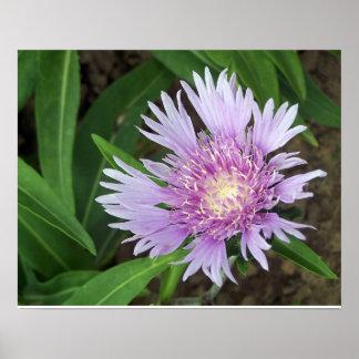Cornflower Aster Perennial Flower Bloom Poster