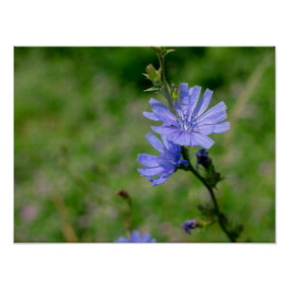 Cornflower azul impresiones