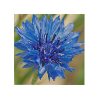 Cornflower azul impresiones en madera