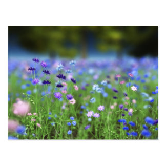 Cornflower Blue Postcard