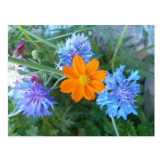 Cornflower & chamomilla postcard