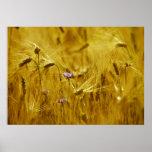 Cornflower in the grain posters