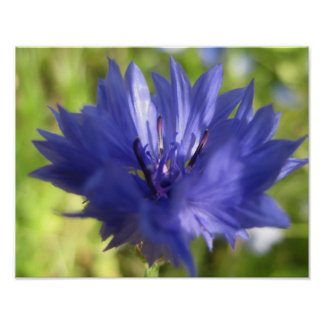 Cornflower poster with frames