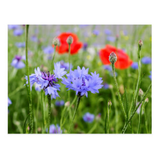 cornflowers and poppies postcard