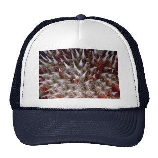 Corona de las estrellas de mar de las espinas gorras