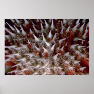 Corona de las estrellas de mar de las espinas poster