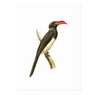 Coronated Hornbill Bird Illustration Postcard