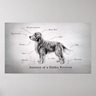 Correct Anatomy of a Golden Retriever Poster