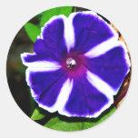Correhuela azul, blanca y púrpura pegatina redonda