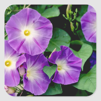 Correhuela - hojas púrpuras del verde de las pegatina cuadrada