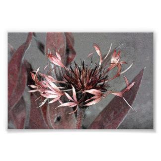 Corrija de una flor de Montana del Centaurea Fotografía