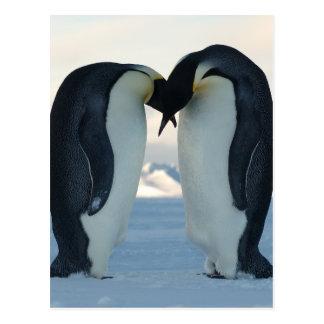 Cortejo del pingüino de emperador postal