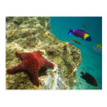Cortez Rainbow Wrasse male and female and sea Postcard