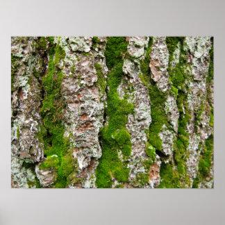 Corteza de árbol de pino con el musgo póster