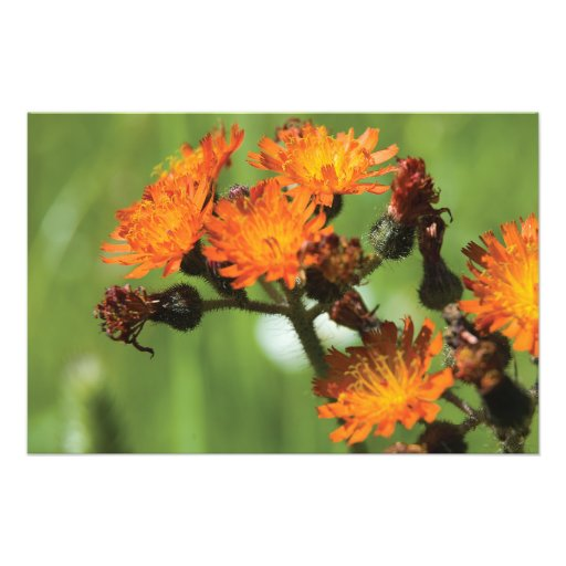 Cosas salvajes del Hawkweed anaranjado Fotografia