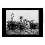 Cosecha de la caña de azúcar en Hawaii 1917 Tarjeton