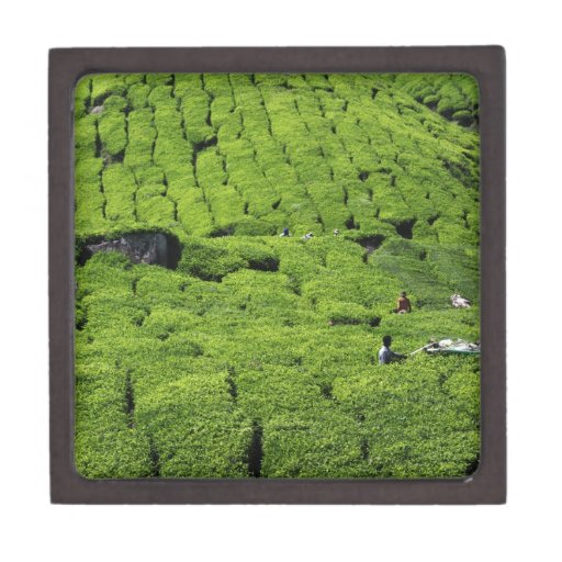 Cosecha de la plantación de té de plantas verdes e caja de regalo de calidad