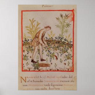 Cosecha de las pastinacas de 'Tacuinum Sanitatis Posters