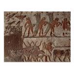 Cosecha del papiro y de un grupo de vacas tarjeta postal