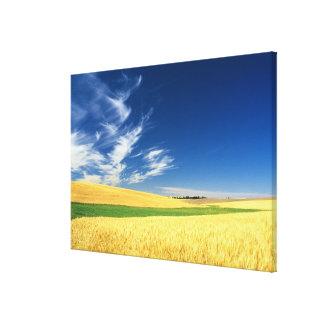 Cosecha del trigo en el Palouse en del este Lona Estirada Galerias