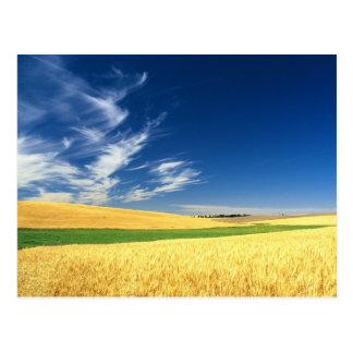 Cosecha del trigo en el Palouse en del este Postal