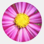 Cosmo rosado brillante pegatinas redondas