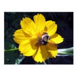 Cosmos Attracts Bumblebee Postcard