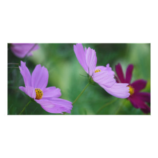 Cosmos flower and meaning card