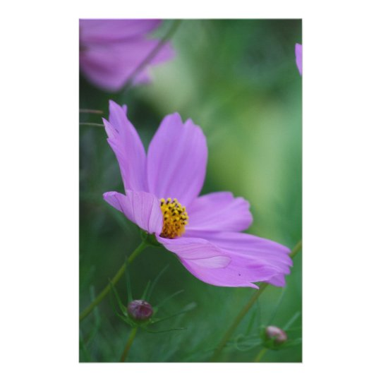 Cosmos flower and meaning stationery