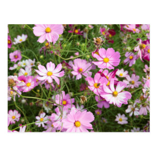 Cosmos Flower (Bidens Formosa). Kirkwood Postcard