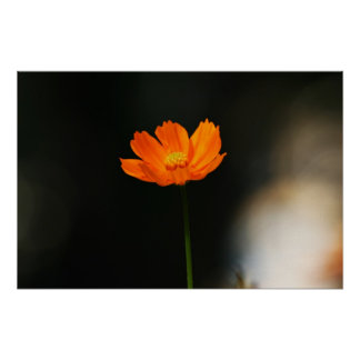 Cosmos flower poster
