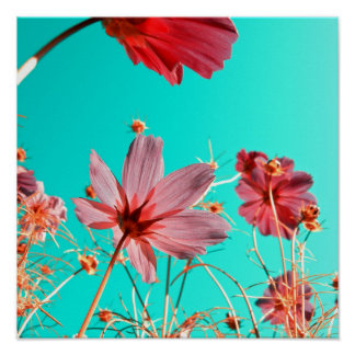Cosmos flowers abstract II Poster
