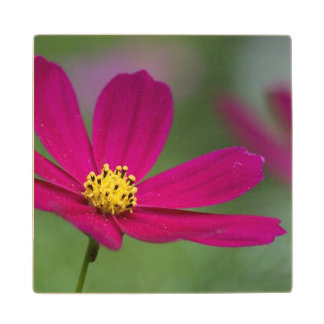 Cosmos Flowers Maple Wood Coaster