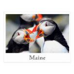 Costa de Maine de los frailecillos atlánticos Postales