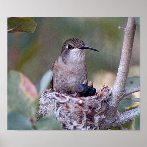 Costa Hummingbird and Babes Print