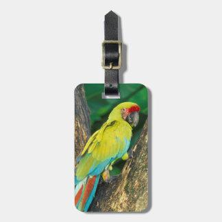 Costa Rica, Ara Ambigua, gran Macaw. verde Etiquetas Para Maletas